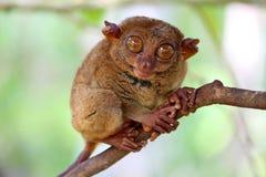 在树的微笑的逗人喜爱的tarsier开会 免版税库存照片