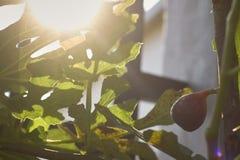 在树的成熟无花果果子 免版税库存照片