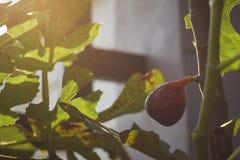 在树的成熟无花果果子 库存照片