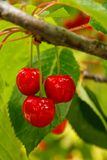 在树的成熟樱桃果子 免版税库存图片