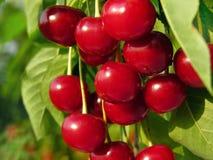 在树的成熟甜樱桃 免版税库存图片