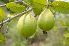 在树的成熟番石榴 免版税库存图片