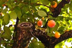 在树的成熟的柿子 免版税库存图片