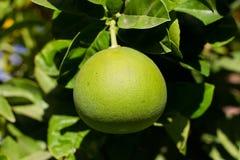 在树的成熟的绿色葡萄柚 免版税库存照片