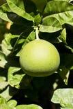 在树的成熟的绿色葡萄柚 库存图片