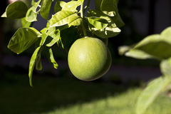 在树的成熟的绿色葡萄柚 库存照片
