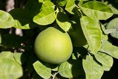 在树的成熟的绿色葡萄柚 免版税库存图片