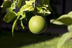 在树的成熟的绿色葡萄柚 免版税图库摄影