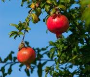 在树的成熟石榴果子反对蓝天 图库摄影