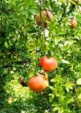 在树的成熟石榴果子 免版税库存照片