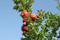 在树的成熟石榴果子 免版税库存图片