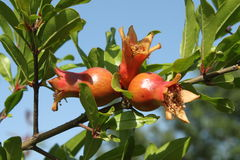 在树的成熟石榴果子 库存照片