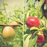 在树的成熟红色和未成熟的绿色油桃;拼贴画;减速火箭 库存图片