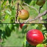 在树的成熟红色和未成熟的绿色油桃;拼贴画 免版税库存图片