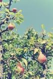 在树的成熟红色梨在果树园;减速火箭的Instagram样式 免版税库存照片