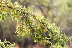 在树的成熟苹果本质上 免版税库存图片