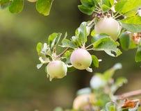 在树的成熟苹果本质上 图库摄影
