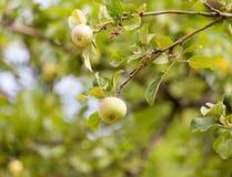 在树的成熟苹果本质上 库存照片