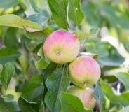在树的成熟苹果本质上 免版税库存照片