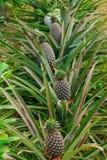 在树的成熟菠萝在庭院里 免版税库存图片