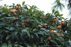 在树的成熟蜜桔 免版税库存照片