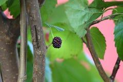 在树的成熟黑莓 免版税库存照片