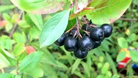 在树的成熟Aronia莓果 股票视频