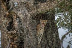 在树的打呵欠的豹子 免版税图库摄影