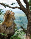 在树的拥抱的猴子 库存图片
