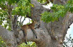 在树的斯里兰卡的豹子豹属pardus kotiya 库存照片