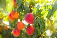 在树的新鲜的成熟桃子在夏天果树园 库存照片