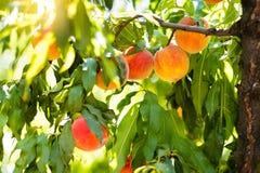在树的新鲜的成熟桃子在夏天果树园 库存图片