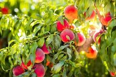在树的新鲜的成熟桃子在夏天果树园 免版税库存图片