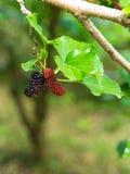 在树的新鲜的成熟桑树莓果 库存图片