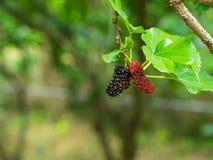 在树的新鲜的成熟桑树莓果 免版税库存图片