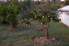 在树的新鲜的成熟绿色苹果在夏天日落从事园艺 免版税图库摄影