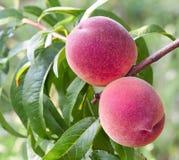 在树的新鲜的桃子 免版税库存图片