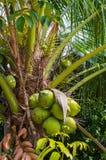 在树的新鲜的椰子,在椰子树的椰子群 库存照片