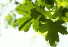 在树的新鲜的槭树叶子 免版税库存图片