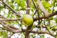 在树的新鲜的石灰 免版税库存照片