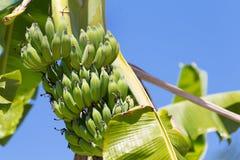 在树的新鲜的绿色香蕉果子 库存照片