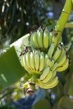 在树的新鲜的绿色香蕉果子 免版税库存照片