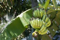 在树的新鲜的绿色香蕉果子 库存图片