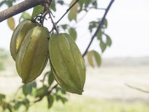 在树的新鲜的阳桃, Averrhoa阳桃 免版税库存照片