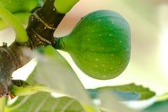 在树的新鲜的绿色无花果 库存图片
