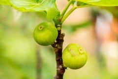 在树的无花果果子 库存照片