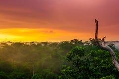 在树的日落在Amazonas巴西雨林  免版税库存图片