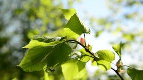 在树的明亮的醉汉叶子在5月 股票录像