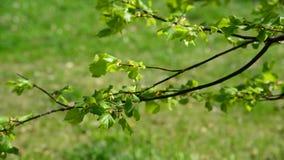 在树的明亮的醉汉叶子在5月 影视素材