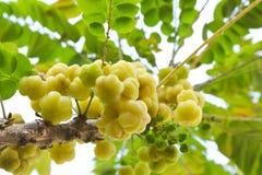 在树的星鹅莓。 免版税库存图片